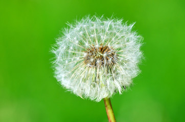 Dandelion seeds on the green background