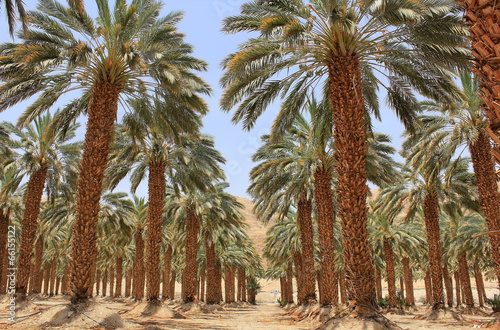 Aluminium Palm boom plantation of date palm at kibbutz Ein Gedi, Israel