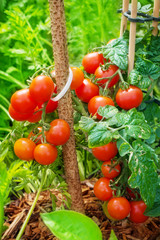 Tomaten reifen im Garten