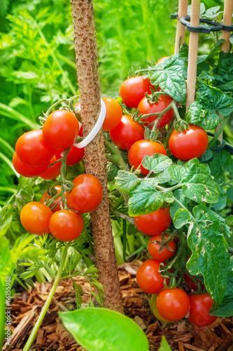 canvas print picture Tomaten reifen im Garten