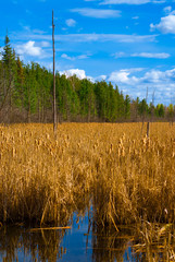 A Field of Yellow Ripe Cattail Reeds in a Canadian Wetland