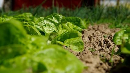 Green lettuce salad in the garden in summer