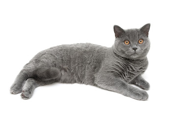 beautiful gray cat on a white background