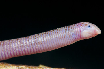 Worm lizard / Diplometopon zarunyi