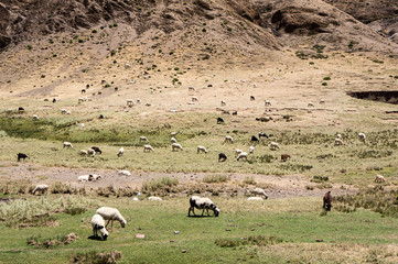Goats, Morocco - Atlas Chain. Pass Tizi n'Tichka over 2000 m.