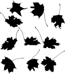 ten maple leaves silhouettes isolated on white