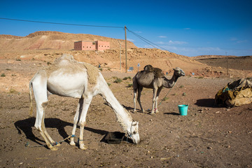 Camels in front of a small village in the Atlas mountains region