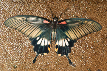 Swallowtail on stone