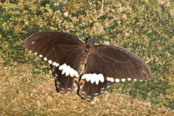 Swallowtail on brown stone