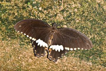 Swallowtail on brown stone
