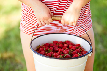 Woman holding hands in a bucket full of fresh strawberries