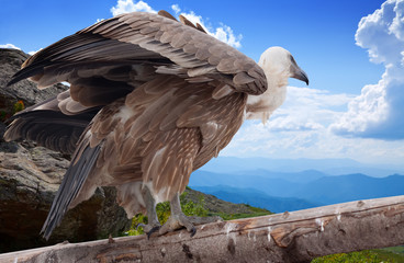 Griffon vulture   in wildness