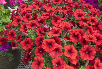 Red Petunias in a Plant Nursery