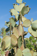 Prickly Pear Cactus, aka, Nopal in Tenerife, Spain