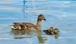 Leinwandbild Motiv Mallard or wild duck (anas platyrhynchos) and baby