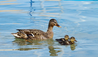 Mallard or wild duck (anas platyrhynchos) and baby