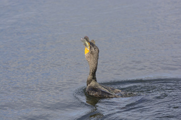 Double Crested Cormorant Swallowing a Fish