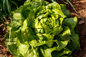 Lettuces plant group in garden