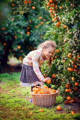 cute girl pick up harvest of orange in autumn farm