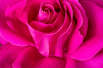 Close-up shot of rose flower
