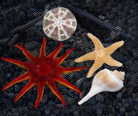 Starfish and  Shells on black net fish