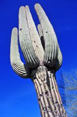 Giant Saguaro Cactus, Southwest USA