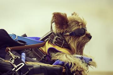 Portrait of an Yorkshire Terrier