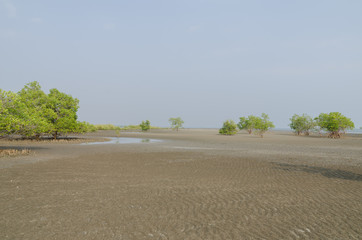 Mangrove trees on the tidal flat