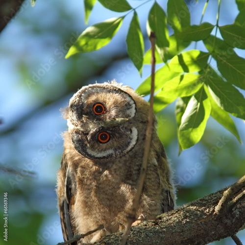 Tuinposter Uil asio otus juvenile in tree