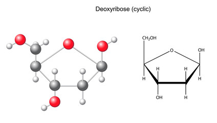 Structural chemical formula and model of deoxyribose