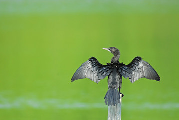 """Birds name is """"Little cormorant"""" show in nature"""