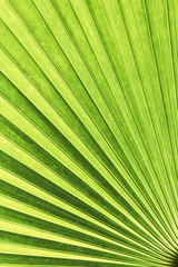 Vanuatu fan palm leaf with diagonal lines
