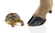turtle and cow hooves on white background. - 66173749