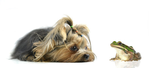 yorkshire terrier and frog isolated on white