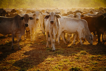 Australian cattle on a farm, Western Australia