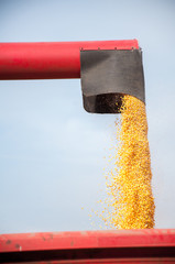 Unloading corn after harvest