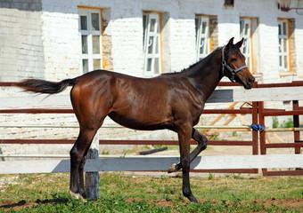 Foal in a paddock on a Stud Farm