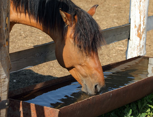 Vyatka Horse foal drinking from trough