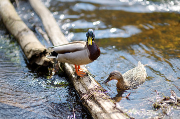 Two ducks in a river