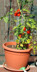 tomato plant grown in a pot in the garden on the terrace