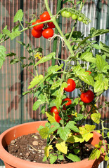 tomato plant grown in a pot in the garden on the balcony