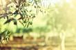 Leinwanddruck Bild - Olive trees garden, mediterranean olive field ready for harvest.