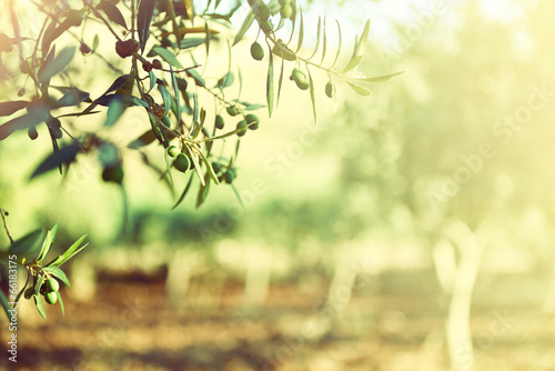 Leinwanddruck Bild Olive trees garden, mediterranean olive field ready for harvest.