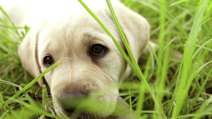 Labrador puppy sitting in the grass
