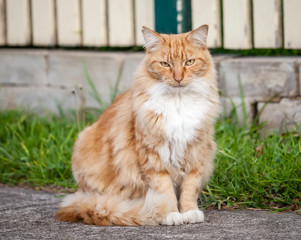 Ginger and White Tabby Cat Sitting on the Sidewalk