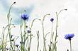 blaue Kornblumen und Himmel