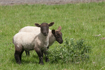 Black faced lambs chewing a thistle