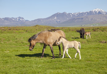 Brown horse with a foal on a green field