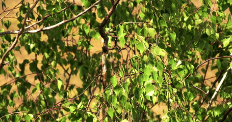 The green leaves of the birch tree FS700 4K Odyssey7Q