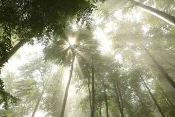 Sunlight breaks through the fog in spring deciduous forest